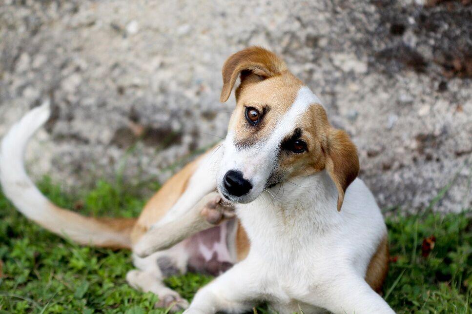 El picor en los perros. ¿Qué puedo hacer?