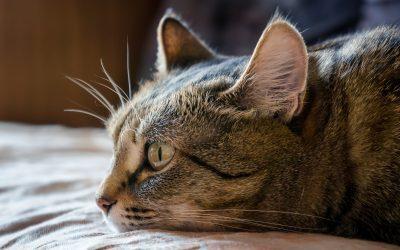 La insuficiencia renal crónica en los gatos