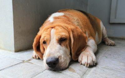 La obesidad en las mascotas