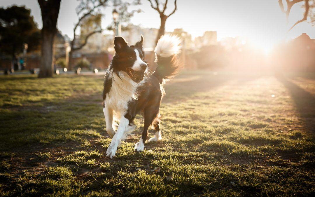 El celo en las perras: fases y características